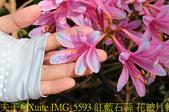 東引 紅藍石蒜 換錦花 玫瑰石蒜 2018/08/23:IMG_5593 紅藍石蒜 花被片輕度反捲.jpg