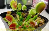 爬行動物捕蠅草 Dionaea Reptile 20181119:爬行動物捕蠅草 51732.jpg