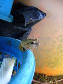 有機菜園的意外看見青蛙交配 (青蛙下蛋) 3P 喔!:P1070151.JPG