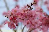 武界櫻花:霧社櫻、福爾摩沙櫻、 富士櫻、香水櫻 20150221:IMG_3287 富士.jpg