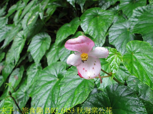 IMG_6453 秋海棠公花.jpg - 烏來信賢步道 20201211