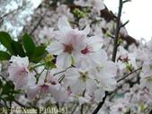 淡水無極天元宮, 櫻花開了!  2011/03/08 17:00 天氣: 陰:P1010451.jpg