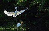 新北市坪林拱橋,賞白鷺鷥、黃頭鷺、夜鷺  2015/05/06:DSC_1874.jpg