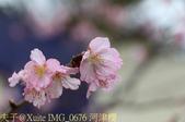 新竹公園 河津櫻 花開繽紛添新色 2017/02/23:IMG_0676 河津櫻.jpg