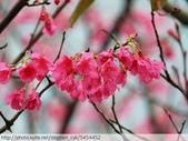 桃園虎頭山桃園高中櫻花開了! 2012/02/06:P1050032.jpg