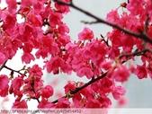桃園虎頭山桃園高中櫻花開了! 2012/02/06:P1050024.jpg