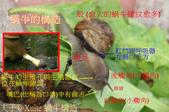 台灣小品蝸牛生態養殖園 2017/01/28 :蝸牛構造-夫子.jpg