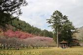 武陵農場 紅粉佳人 櫻花 2017/02/10:IMG_0422-1.jpg