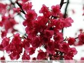 桃園虎頭山桃園高中櫻花開了! 2012/02/06:P1050042.jpg