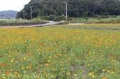 桃園龜山楓樹村黃波斯菊 2013/11/22:IMG_3949.jpg