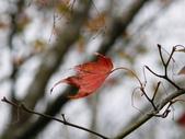 石門水庫楓葉紅了 2011/11/28:石門水庫賞楓 P1030201.jpg