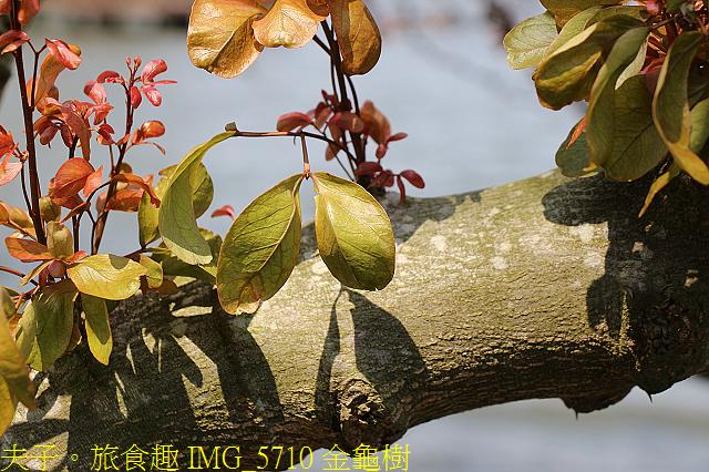 IMG_5710 金龜樹.jpg - 桃園龍潭大池 20210310