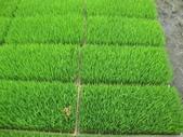 台農秈稻22號:台農秈22號秧苗生長情形