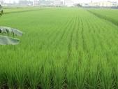 103年1期水稻日記:DSC01925.JPG