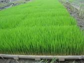 台農秈稻22號:台農秈22號秧苗生長情形1