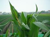 小菜園:台南22號食用白玉米播種第57天開雄