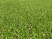 台農秈稻22號:DSC03502.JPG
