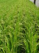 台農秈稻22號:DSC03506.JPG