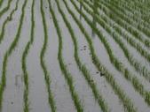 台農84號:台農84號水稻播種第18天生長情形