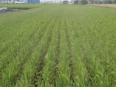 台農秈稻22號:台農秈22號播種第87天生長出穗情形....JPG