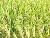 台農秈稻22號:IMG_0023