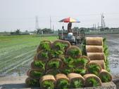 台農秈稻22號:IMG-_08.JPG