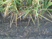 台農秈稻22號:DSC03737.JPG