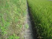 101年2期水稻:隔壁修耕種太陽麻.JPG
