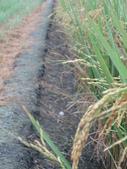 台農秈稻22號:DSC03738.JPG