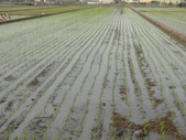 台農秈稻22號:104.3.5台農秈22號插秧完成..JPG
