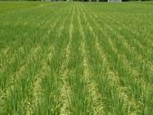台農秈稻22號:DSC03510.JPG