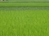 101年1期水稻:使用肥料的差異會改變水稻欉株的顏