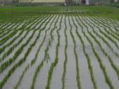 101年1期水稻:左梗右秈生長情形很不同1.JPG