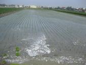 101年1期水稻:IMG_0027.JPG