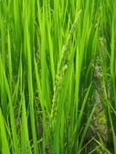 101年1期水稻:出穗了.jpg