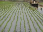 台農秈稻22號:DSC03212.JPG