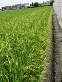 台農秈稻22號:DSC03509.JPG