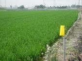 台農秈稻22號:IMG_0021