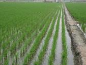 台農84號:施肥後灌溉後3.JPG