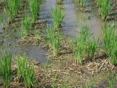 有機益菌分解稻草:分解稻草實驗照片2.JPG