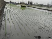 台農秈稻22號:DSC03206.JPG