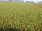 台農秈稻22號:DSC04190.JPG