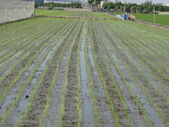 台農秈稻22號:DSC03629.JPG