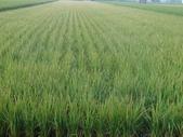 台農秈稻22號:DSC03693.JPG