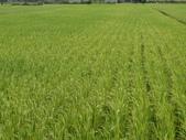 台農秈稻22號:DSC03501.JPG