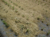 有機益菌分解稻草:IMG_0046.JPG