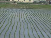 101年1期水稻:IMG_0028.JPG