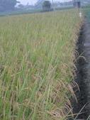 台農秈稻22號:IMG_0034.JPG