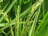 101年2期水稻:台梗9號出穗了1.JPG