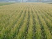 台農秈稻22號:DSC03691.JPG